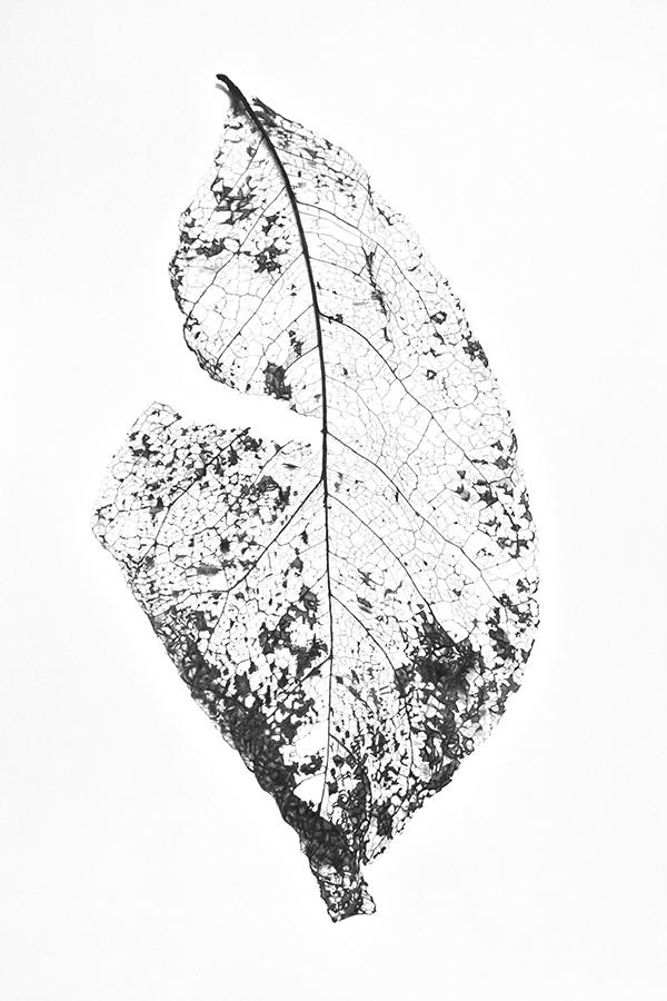 Skeleton Leaf I website