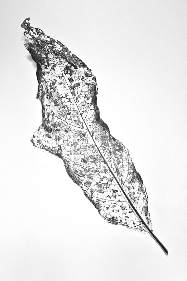 Skeleton Leaf II website